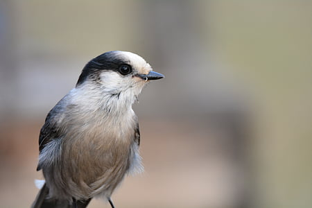 птица, синьо, Джей, природата, Сойка, дива природа, фауна
