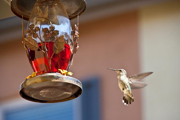 hummingbird feeding, chula vista, ca