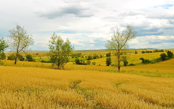 agriculture, field, wheat, harvest, nature, landscape
