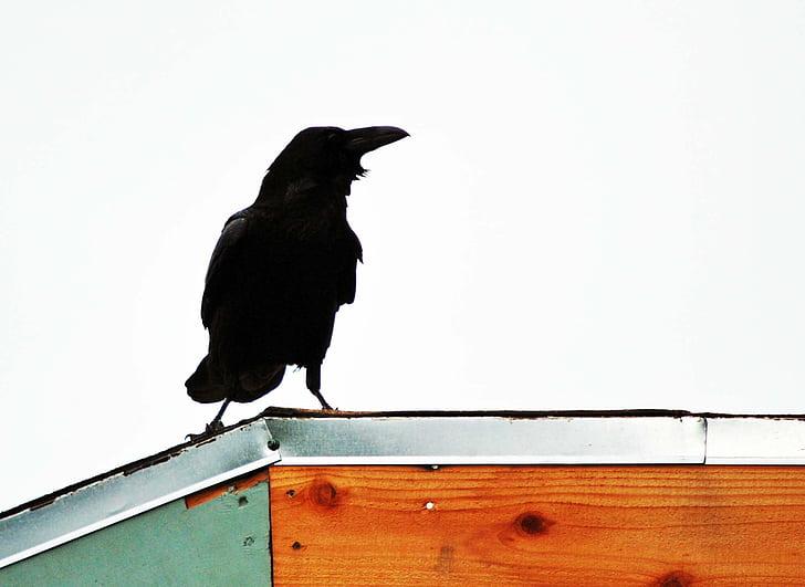 Holló, tetőtéri, fekete, madár, állat, varjú, természet