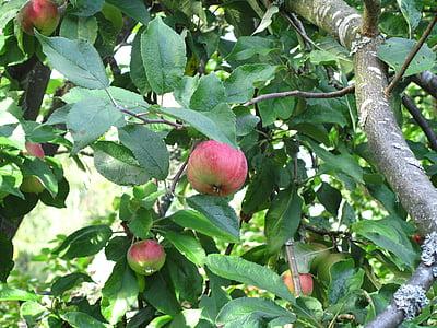 Apple, lehestik, Sügis, puu, põllumajandus, toidu, küps