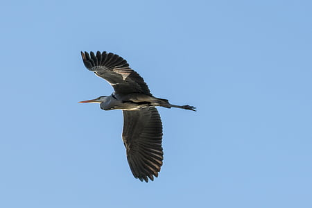 heron, heron in flight, bird, fly, birds, wing, sky