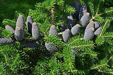 tree, cones, needles, iglak, pine cone, plant, nature