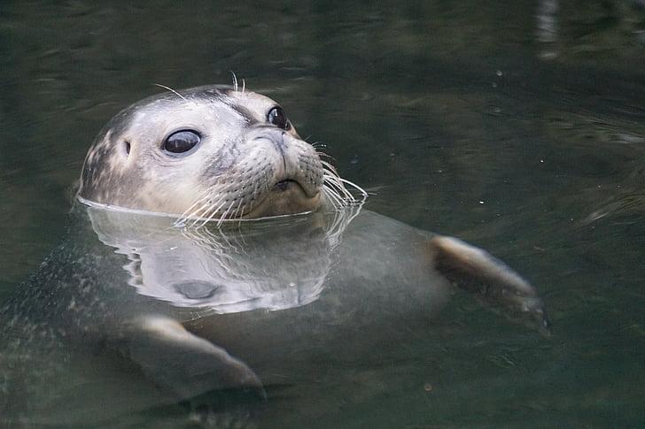 con dấu, nước, sá, bơi lội, thế giới động vật, động vật