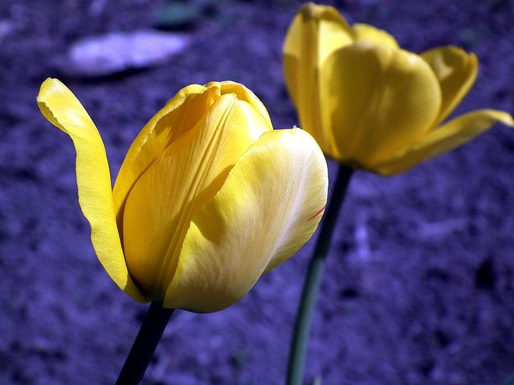flor, Tulipa, groc, flor jardí, primavera, brillant, tulipes