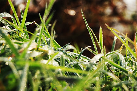 matin, herbe, automne, Herb, rosée, nature, plante