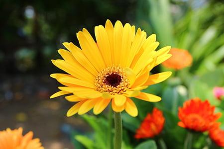 kollane, lill, Aed, Bloom, loodus, taim, suvel