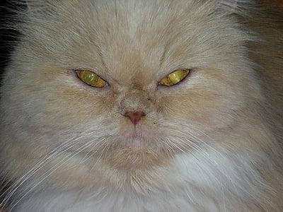 котка, котешко око, котка лице, животните, домашен любимец, котешки, котка нос