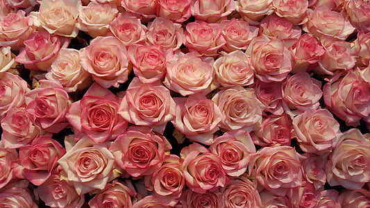 Rosa, flor, flor, rosa Rosa, Rosa - flor, RAM, natura