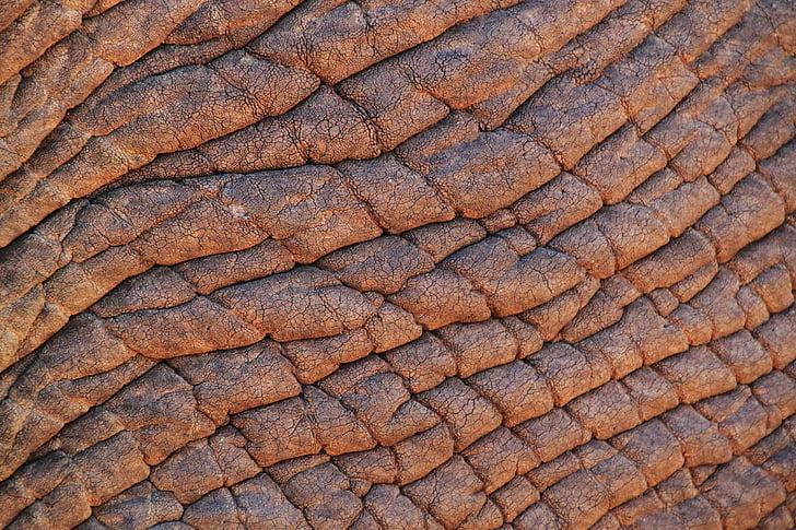 pell d'elefant, elefant, elefant africà, Àfrica, animals, pell, estructura