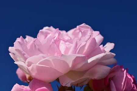 上升, 粉色, 粉红色的玫瑰, 花, 开花, 绽放, 玫瑰绽放