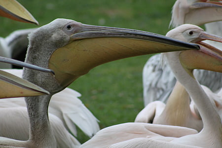 pelicans, waterfowl, bird, nature, birds
