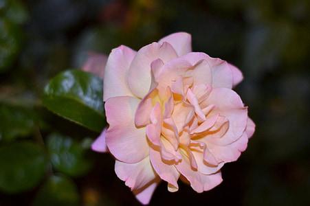 soov, lill, Fotograafia, foto, tõusis, roosid, Makro