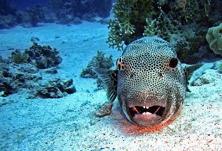 Submarinisme, sota l'aigua, l'aigua, peix, peix globus, Coral, sorra