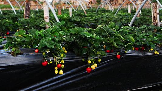 jagoda, Kmetija, vrt, Strawberry farm, rastlin, zelena barva, rdeča