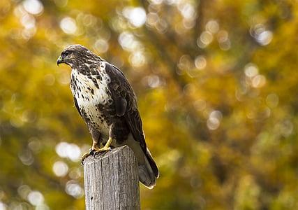 eläinten, lintuinfluenssan, kalju kotka, nokka, lintu, Blur, Lähikuva