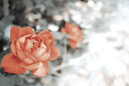 Rosa, Rosa, selectiva, fotos, flor, pètal, natura