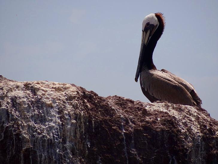 Pelican, Sea bird, Beach, Holiday