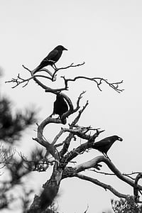 crow, birds, winter, black, raven bird, kahl, corvidae