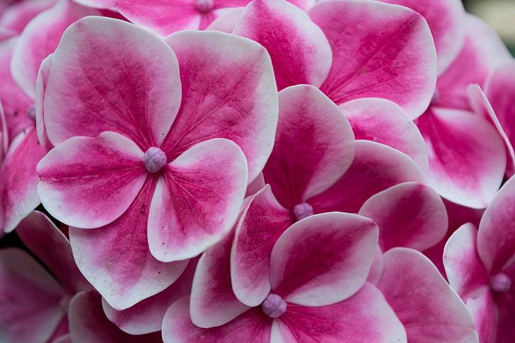 Hortènsia, colors, flors, natura, primavera, flors de primavera, flors de colors
