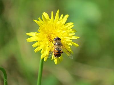 mosca de voltar, flor, insecte, groc, abella de boira