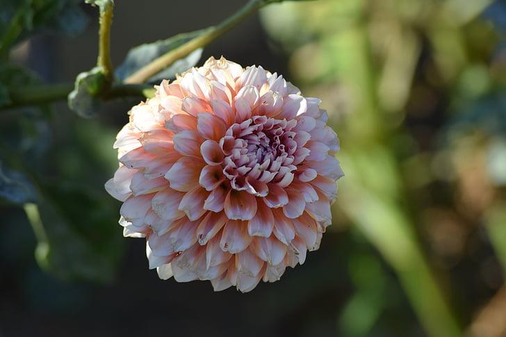Cveće - Page 21 Dahlia-flower-blossom-pink-preview