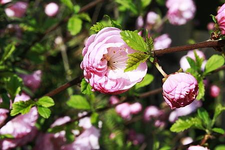 Rosa, flor, flors, Roses, flors roses, flors, primavera