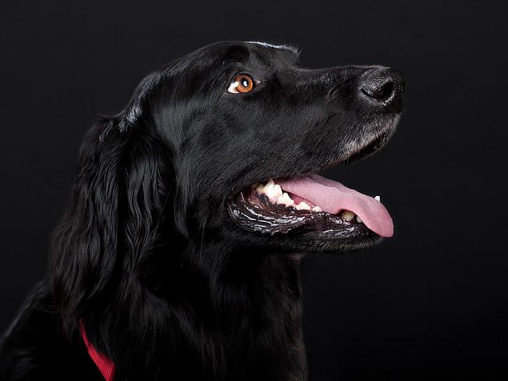 dog, hovawart, black, pet, dog head, hundeportrait, pets