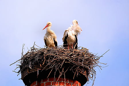 storks, birds, screaming birds, nest, storchennest, rattle stork, plumage