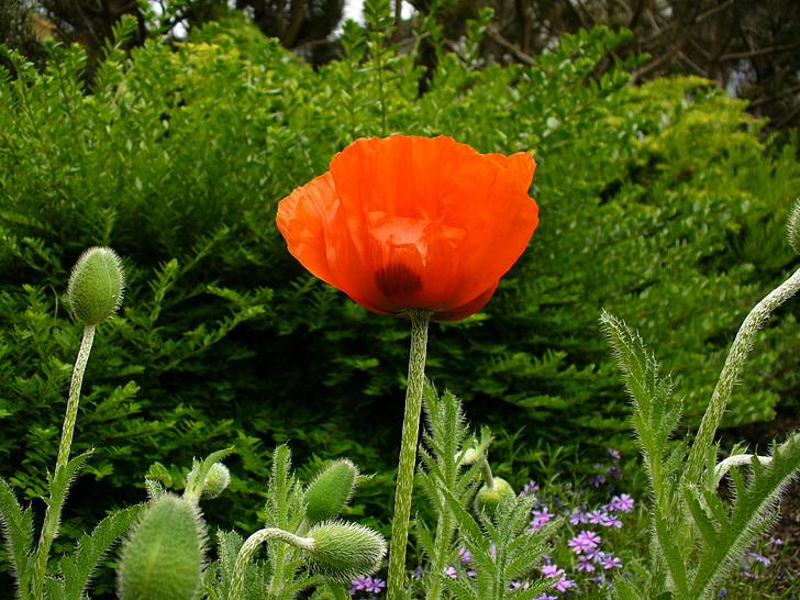 klatschmohn, Rosella, brot de rosella, flor de rosella, ruptura, Rosella vermella, tancar