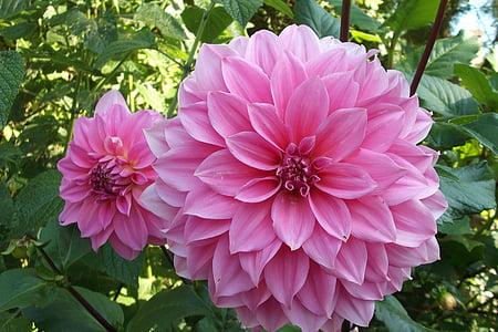 Dalia, lilled, lill, roosa, Rosa, roosad lilled, taim