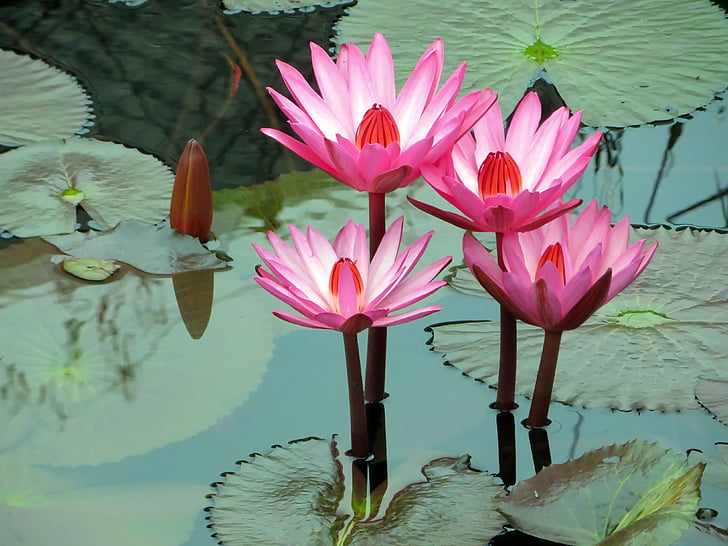 Asia, Laos, lirio de agua, rosa, nympheacea, rosea de Nuphar, serenidad