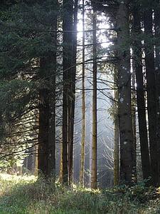 bosc, llum del sol al bosc, ambient de bosc