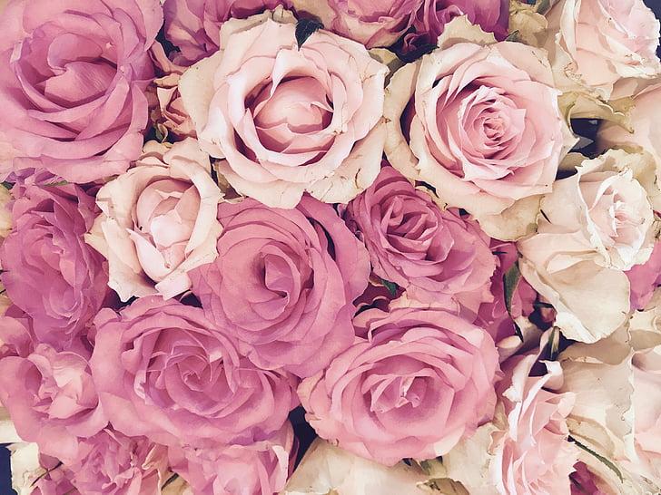 玫瑰, 开花, 绽放, 粉色, 花, 玫瑰绽放, 玫瑰之路