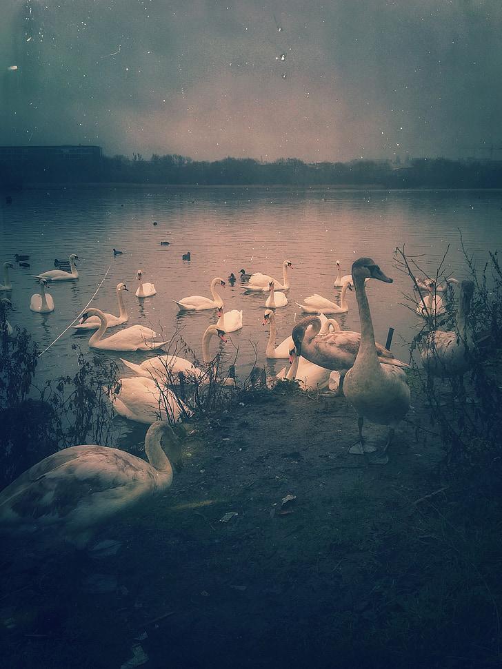 птици, лебед, природата, реколта, гръндж, ретро, езерото