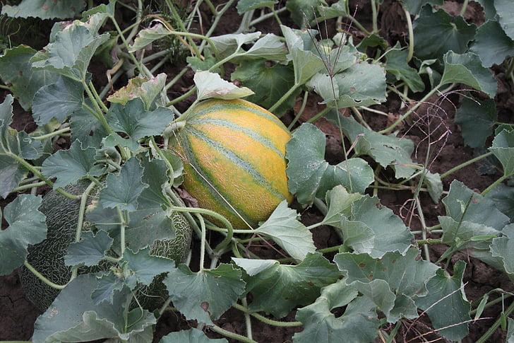 čerstvé, Záhrada, šťavnaté, melóny, sladký, ovocie, zelenina