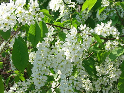 bird-cherry tree, bloom, tree, white flowers, spring, greens, macro photography