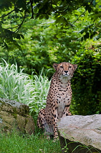 cheetah, predator, wild animal, speed, tiergarten, wildlife, undomesticated Cat