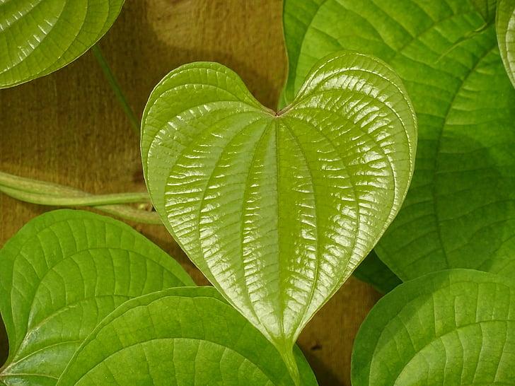 listov, zelena, srce, zelena listna, narave, oblikovanje