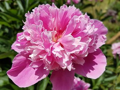 fiori, peonia, peonie, rosa, natura, colore rosa, pianta
