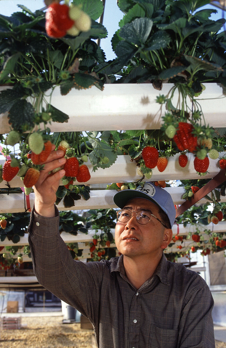 hydroponic, strawberries, growing, produce, farming, agriculture, farmer