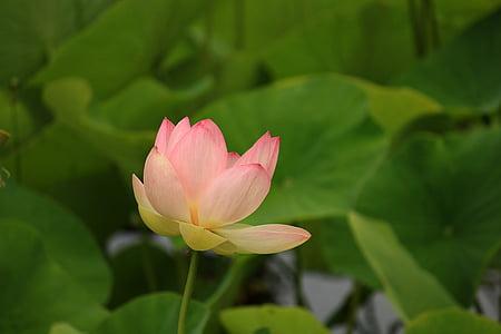 selectiva, enfocament, fotografia, Rosa, pètals, flor, verd