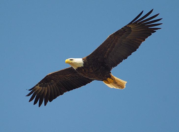 Đại bàng, bay, con chim, biểu tượng, người Mỹ, bay, động vật ăn thịt