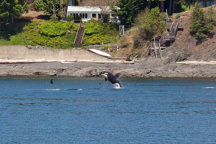 Orca, kitovi, životinja, ubojica, sisavac, marinac, San juan islands