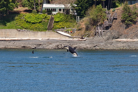 orca, whales, animal, killer, mammal, marine, san juan islands