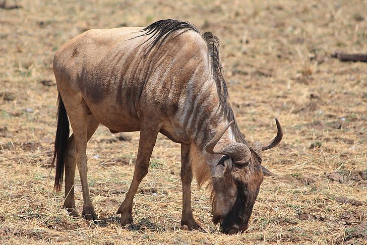 wildebeest, animals, africa