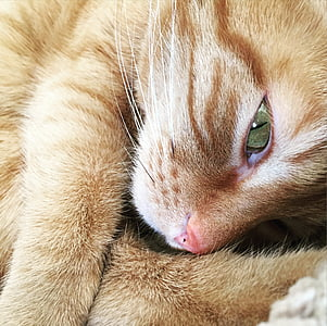 cat, eye, cat's eye, ginger cat, furry, look, domestic Cat