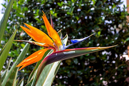 estrelitzia, bird of paradise, flower paradise, estrelicia, flower bird, firebirds, crane flower