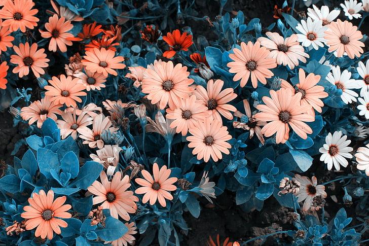 cvet, krizanteme, rastlin, majhen svež, kulise