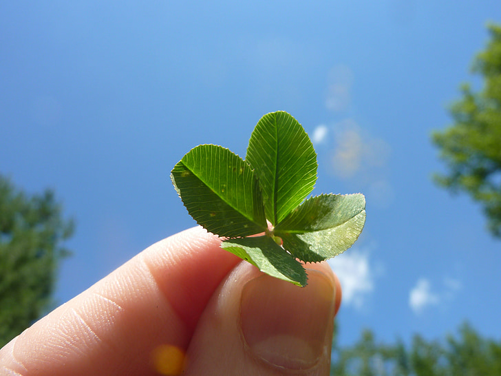 štirih listov detelje, detelje, narave, leafed, listov, štiri leafed, štiri-leaf